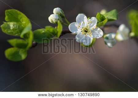 Flower Of Plum Tree On A Branch Close Up