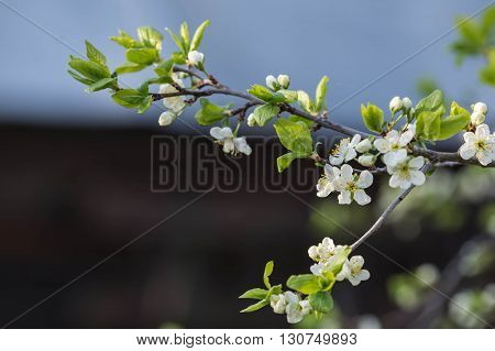 The Blossoming Plum Tree In Sunny Spring Day