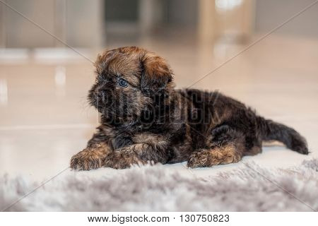 A brown hairy puppy siting on a carpet
