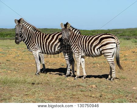 Zebra, Koeberg Nature Reserve Cape Town South Africa