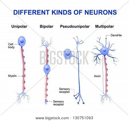 Different kinds of neurons. structure of a typical neuron