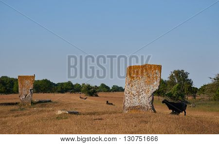 Megaliths and black sheeps Isle if Oeland province Kalmar Sweden
