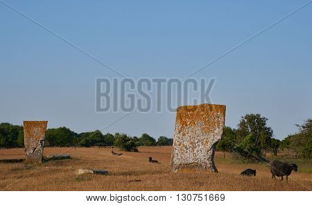 Megaliths and sheeps Isle if Oeland province Kalmar Sweden