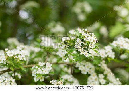 Wild Blooming Hawthorn