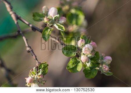 Flower Buds On A Branch Of An Apple Tree