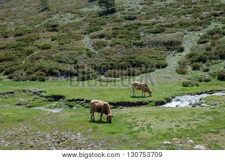 cattle in the mountains of Madrid with much fame for their meat