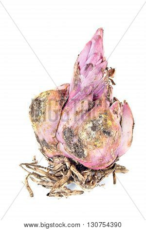 Large tuber flower lily isolated on white background