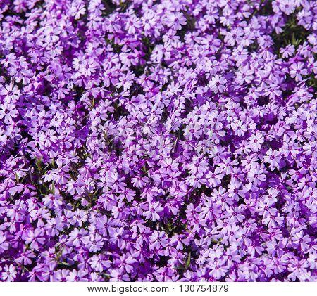 Close Up On Flower Phlox Subulata (polemoniaceae), Background Or Texture