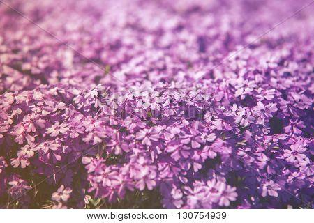 Close Up On Flower Phlox Subulata (polemoniaceae),  Sunset Or Sunrise