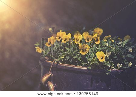 Violas Growing In Spring Garden Decoration, Sunset Or Sunrise