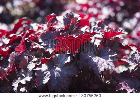 Close Up On Obsidian Coral Bells (heuchera) Flower
