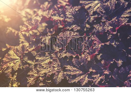 Close Up On Obsidian Coral Bells (heuchera) Flower, Sunset Or Sunrise