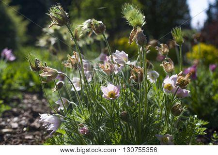 close up on Pulsatilla Vulgaris in garden