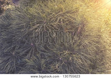 close up on Pinus nigra in garden