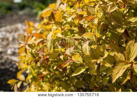 close up on Spiraea japonica Goldflame in garden