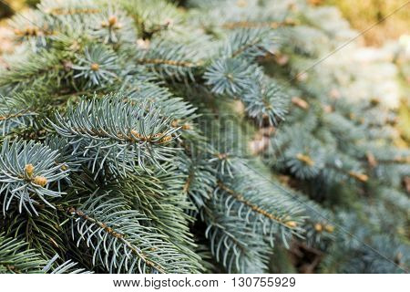 close up on Hanging branches of Picea punges