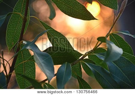 Young Waratah leaves backlit by sunlight at dusk