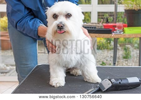 White Maltese dog is standing on the grooming table and is looking at the camera. Grooming comb and electric razor are lyiing on the table.