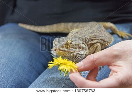 Woman is feeding by yellow dandelion flower the Agama lizard on her lap.