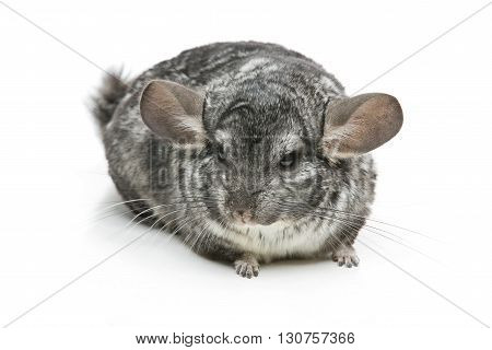 Cute adult chinchilla isolated over white background. Copy space.