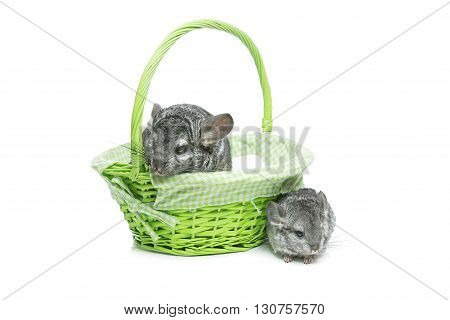 Chinchilla mother with baby sitting in green basket isolated over white background. Copy space.