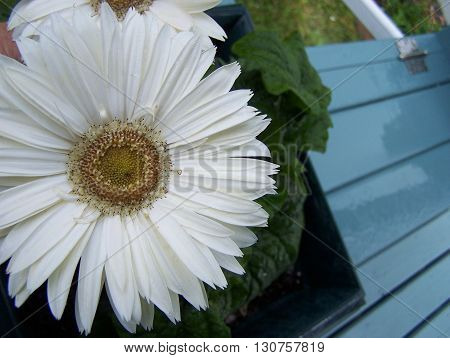 White Gerbera  image is from the top  - abstract