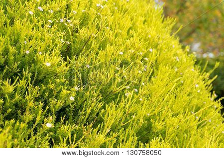 Bright green and yellow hedge plant bush with small pink flowers close up. Nature spring or summer background. Selective focus shallow DOF