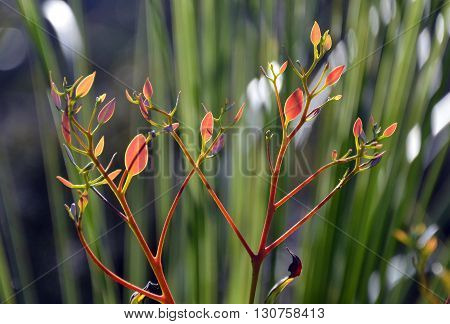 Colourful new growth (young leaves) backlit by sunlight
