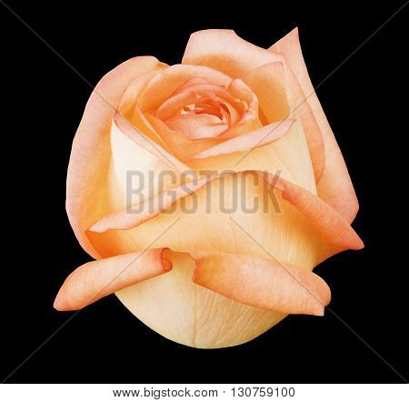 Flower rose black isolated background with clipping path. Closeup with no shadows. Nature. Yellow pink lilac purple green blue cyan aquamarine red orange white.