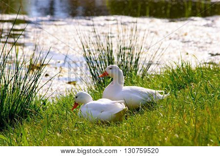 Couple of cute american peking ducks next to a lake on the fresh green grass