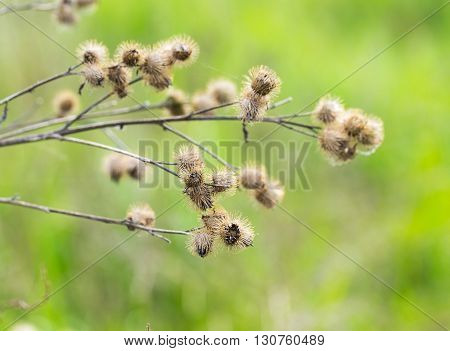 Dry Burdock Heads Closeup On Green Background