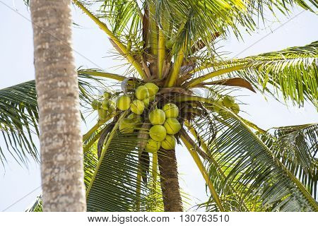 coconut grove with mature coconuts summer in the tropics