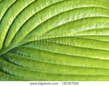 Young green leaf of hosta close up