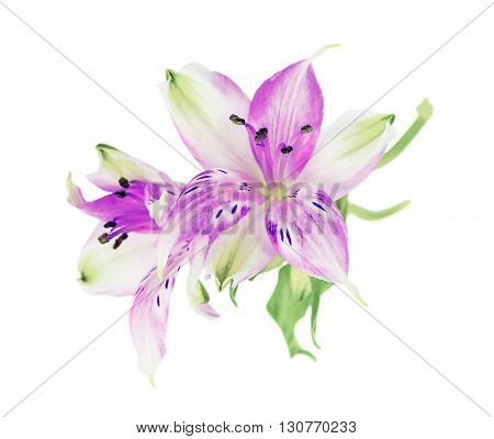Two flowers of magenta Alstroemeria isolated on white