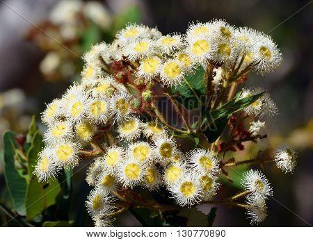 White and yellow flowers of the gumtree Angophora hispida