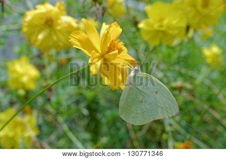 green sulphur butterfly on garden cosmos flower