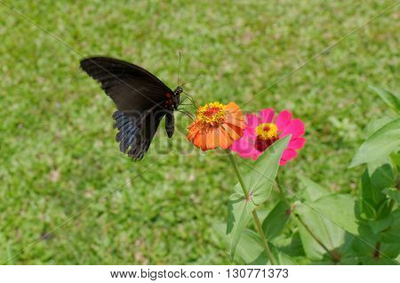 the great mormon butterfly on zinnia flower