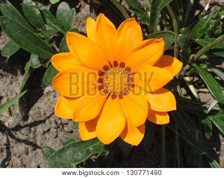 Lone orange with brown stripes gazania flower.
