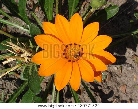 Lone orange with brown stripes gazania flower with bee.