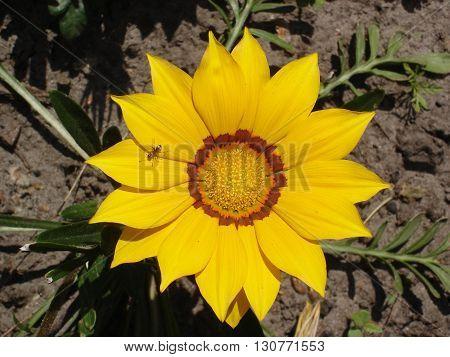 Lone yellow with orange stripes gazania flower with ant.