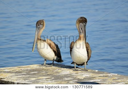 Brown Pelicans on a dock at Florida, USA.