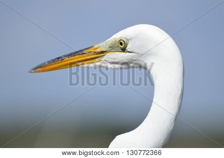 Great White Heron up close on a fishing pier