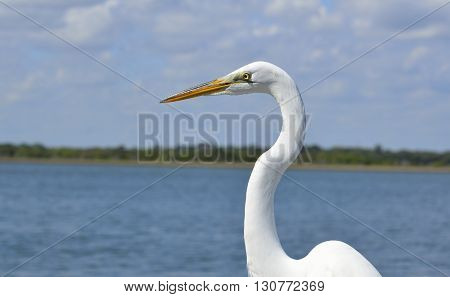 Great White Heron on fishing pier Florida, USA