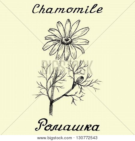Chamomile . Drawing and hand-lettering. English and Russian texts. Eco Friendly. For labels flyers online stores. Natural cosmetic. Bio products. Botanical sketch