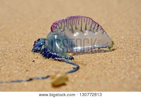 Portuguese Man O' War (Bluebottle) washed up on a beach