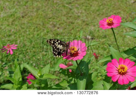 the lime swallowtail butterfly on zinnia flower