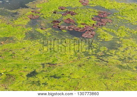 Green algae/slime growing on an English lake in May.