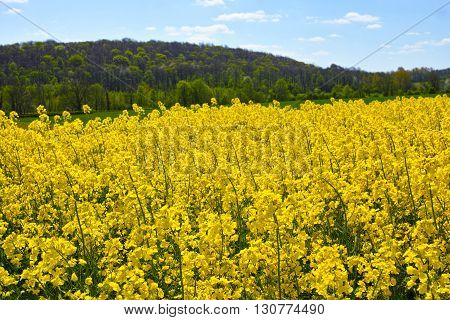 Cultivated colorful raps field in France Normandy