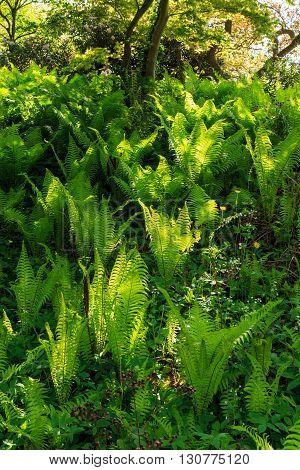 Ferns backlit by sunlight in British woodland.