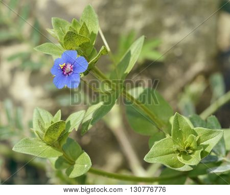 Blue Pimpernel - Anagallis arvensis foemina Small Blue Flower